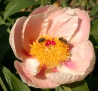 Пион Soft Apricot Kisses (Софт Априкот Киссес)
