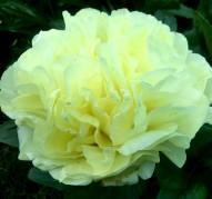 Пион Sweet Lemonade (Свит Лемонейд)