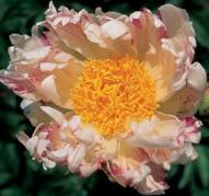 Пион Vanilla Raspberry Swirl (Ванилла Распберри Свирл)