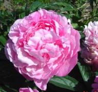 Пион Vivid Rose (Вивид Роуз)