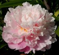 Пион Zhong Sheng Fen (Розовое Облако)